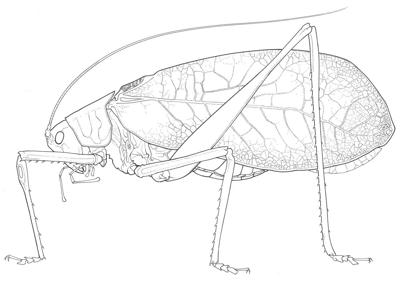 Yucatan katydid (Phrixa maya)orthsoc.org