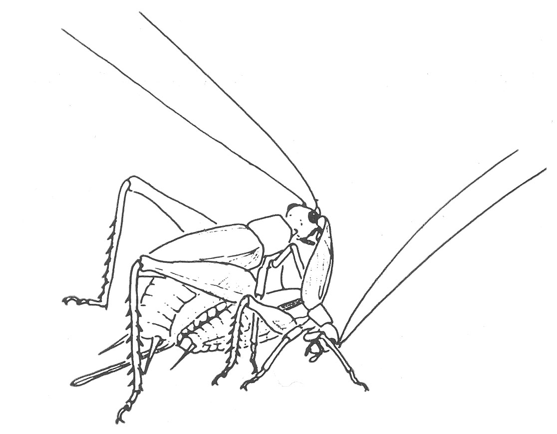 The very quiet cricket coloring page